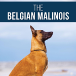 The Complete Guide to the Belgian Malinois: Selecting, Training, Socializing, Working, Feeding, and Loving Your New Malinois Puppy